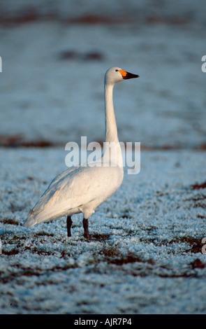 Bewick s Swan in winter Netherlands Cygnus columbianus bewickii - Stock Photo