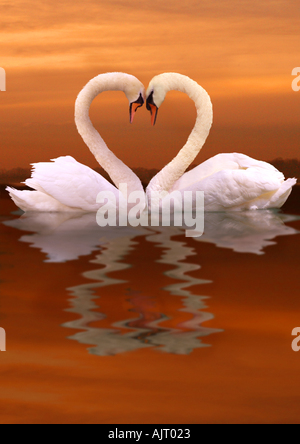 two swans - heart - Stock Photo
