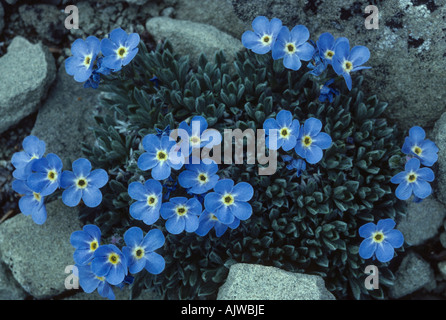 Alpine tundra: alpine forget-me-not, Eritrichium elongatum, dwarf cushion, found at high elevations above timberline - Stock Photo