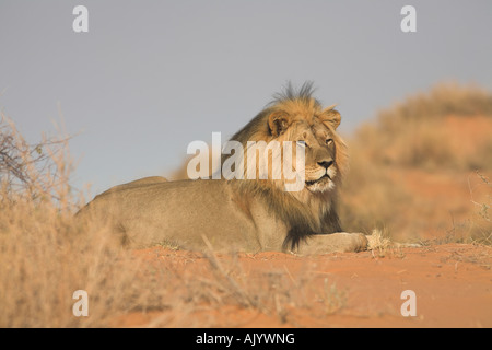 AFRICAN LION panthera leo - Stock Photo