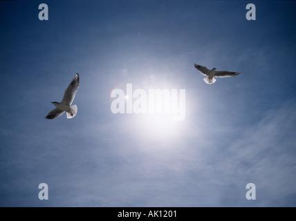 Black headed Gulls in Flight - Stock Photo