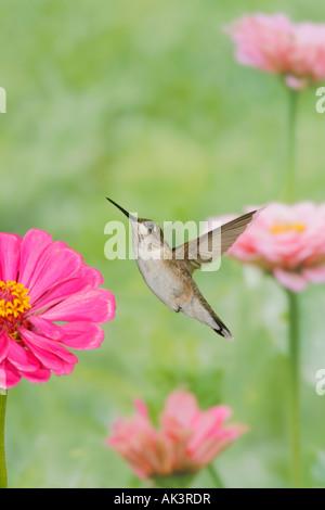 Female Ruby throated Hummingbird Vertical - Stock Photo