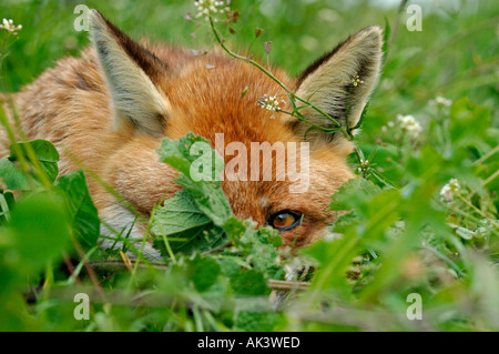 Fox Vulpes vulpes resting in long grass but with one eye open for danger Kent summer - Stock Photo