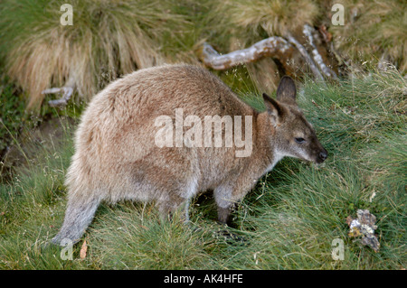 wallaby grazing on campground on Overland Track in Cradle Mountain Lake St Clair Nationalpark Tasmania Australia - Stock Photo