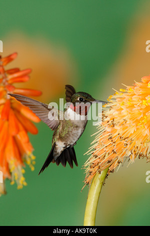 Male Ruby throated Hummingbird in Red Hot Poker Vertical - Stock Photo