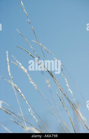 Tall grass against blue sky - Stock Photo