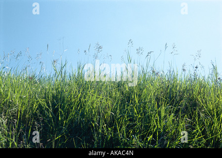 Green grass growing against blue sky - Stock Photo
