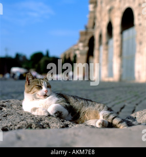 A tabby cat  with a white ruff sleeping in the street outside the ancient  Roman  Colosseum building in Rome Italy - Stock Photo
