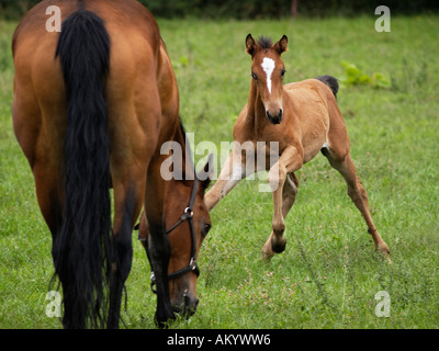 Playful lively foal and its grazing mother mare on a farm in Ruurlo the Netherlands - Stock Photo