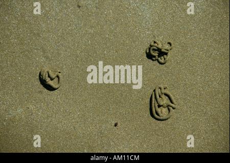 Lugworms (Arenicola marina) - Stock Photo