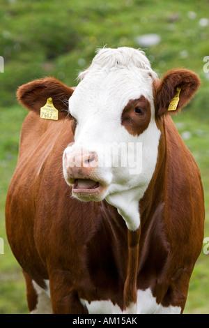 Mooing cow, meadow near by Grossglockner Hochalpenstrasse, national park Hohe Tauern, Austria - Stock Photo