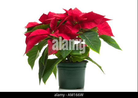 Poinsettia a k a Christmas flower isolated on a white background - Stock Photo
