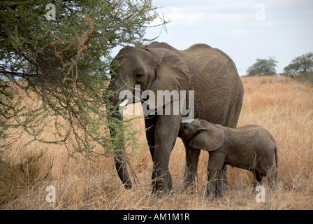 African Elephant (Loxodonta africana) and its young feed on acacia tree in the savannah Tarangire National Park - Stock Photo