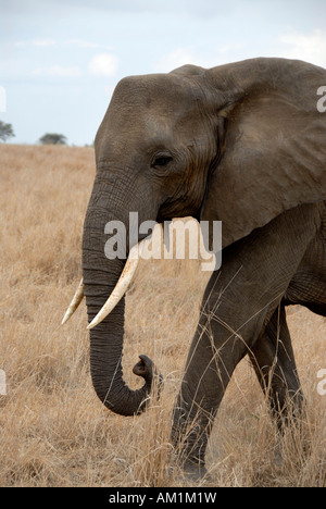 African Elephant (Loxodonta africana) in the savannah Tarangire National Park Tanzania - Stock Photo