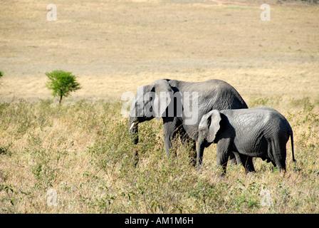 African Elephant (Loxodonta africana) and its young in the savannah Serengeti National Park Tanzania - Stock Photo