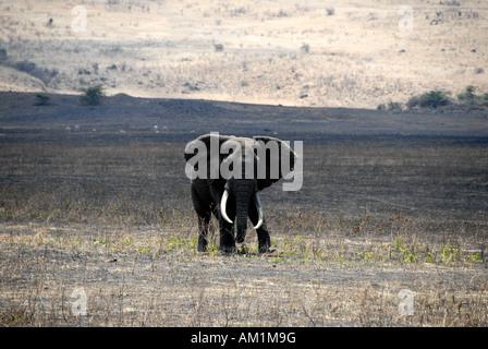 African Elephant (Loxodonta africana) with long tusks Ngorongoro Crater Tanzania - Stock Photo
