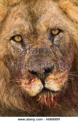 Lion Portrait Closeup - Stock Photo