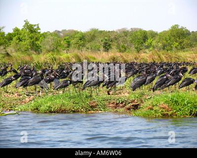 Ciconia abdimii, Abdims Stork - Stock Photo