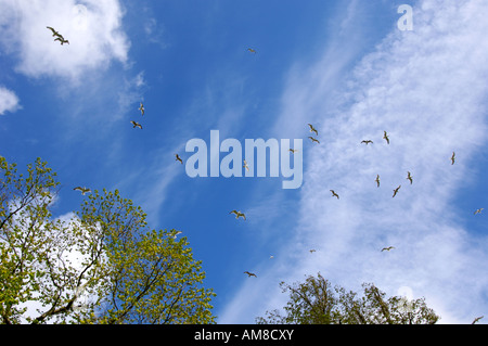 A group of seagulls circling in the sky looking for food from the local fishermen,photographed on the Isle of Skye,Scotland - Stock Photo
