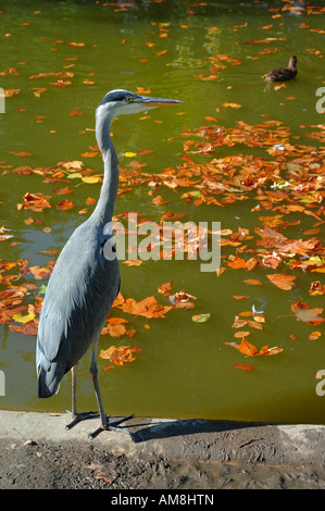 Photograph taken in the shadow of the Eiffel Tower shows a Grey Heron - Stock Photo