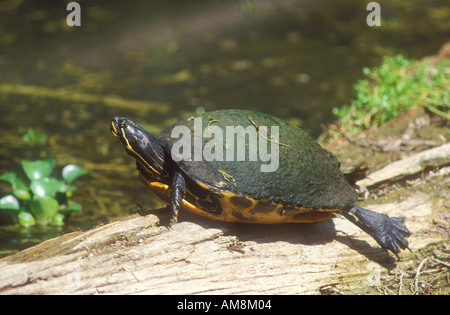 Florida Redbelly Turtle basking - Stock Photo