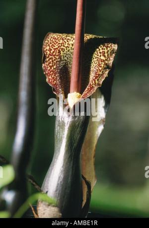 Voodoo Lily (Sauromatum venosum, Sauromatum guttatum, Arum cornutum), inflorescence - Stock Photo