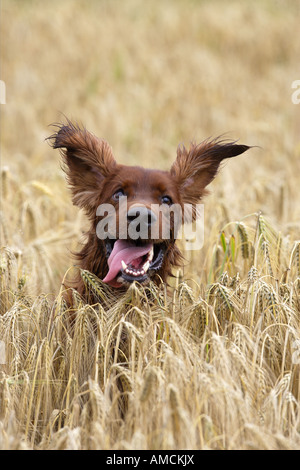Irish Setter dog in cornfield - Stock Photo