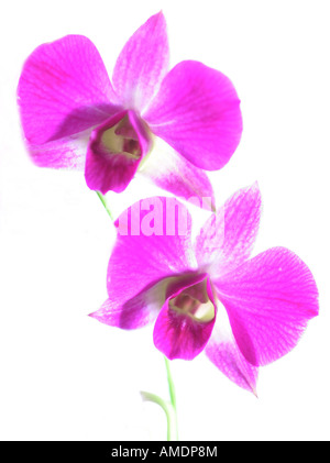 tropical orchid hybrid tropic exotic pink two blossoms cutted out - Stock Photo