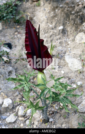 arum arrowroot, dragon arum, voodoo lily (Dracunculus vulgaris), blooming, Greece, Creta, Paleochora - Stock Photo