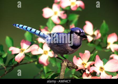 Blue Jay Perched in Dogwood Blossoms - Stock Photo