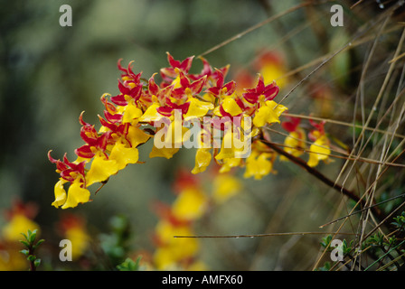 Beautiful YELLOW ORCHID found commonly near the Ruins of SAYACMARCA on the INCA TRAIL TO MACHU PICCHU PERUVIAN ANDES - Stock Photo