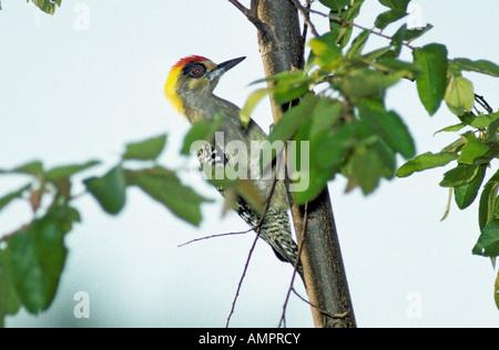 Golden-cheeked Woodpecker Melanerpes chrysogenys Manzanillo Colima Mexico October Adult Male Picidae - Stock Photo