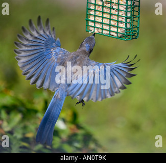 Scrub Jay in flight with wings fully spread as it reaches for a bite of suet - Stock Photo