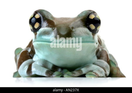 amazonian canopy frog Phrynohyas resinifictrix portrait - Stock Photo