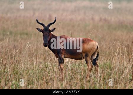 Swayne's Hartebeest (Alcelaphus buselaphus swaynei) at Senkele Sanctuary, Ethiopia, Africa - Stock Photo