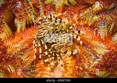Zebra crabs Zebrida adamsii on a fire urchin Asthenosoma varium Komodo National Park Indonesia - Stock Photo