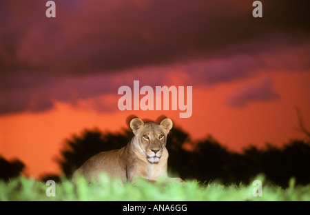 A Lion at sunset on Savuti marsh (Panthera leo) - Stock Photo