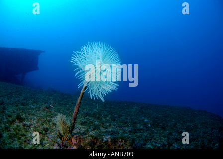 France Marseille Maire Island Lonely White Spiral Tube Worm On The Liban Shipwreck Spirographis Spallanzani Sabella - Stock Photo