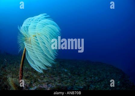 White Spiral Tube Worm (Spirographis spallanzani sabella spallanzanii) on the Liban Shipwreck, Maire Island, Marseille, - Stock Photo