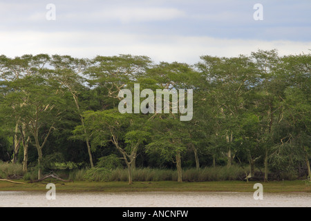 Fever trees stand majestically along the Nyamithi pan, Ndumo. - Stock Photo