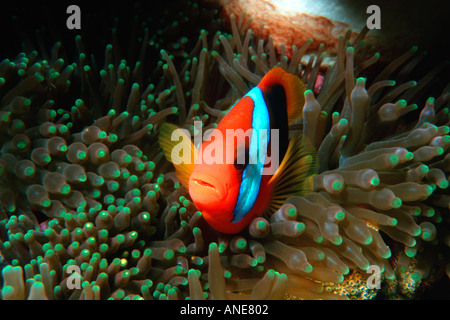 Red and black anemonefish in sea anemone Amphiprion melanopus Temple of Doom Great Barrier Reef Australia - Stock Photo