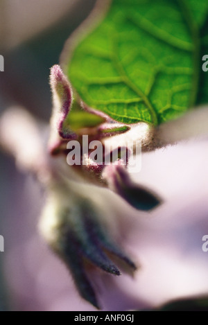 Leafs and flower bud in vegetable garden, close-up - Stock Photo