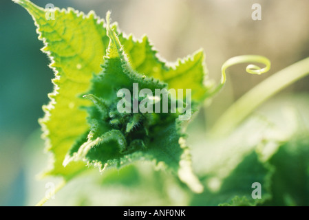 Leafs and tendrils in vegetable garden, extreme close-up - Stock Photo