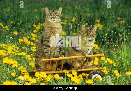 two domestic cats in hay wagon - Stock Photo