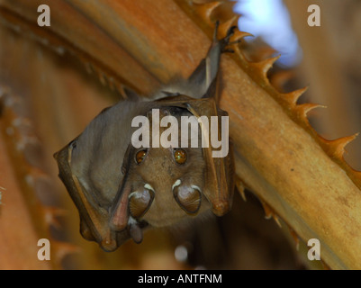 Fruit bat suspended upside down in the branches of a palm tree, East London, South Africa - Stock Photo