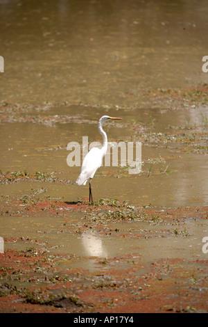 Great White Egret Egretta alba South Luangwa Narional Park Zambia Africa - Stock Photo