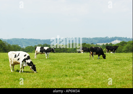 Fresian Cows grazing on a farm in Surrey near the North Down Hills in Surrey on a warm summers day - Stock Photo