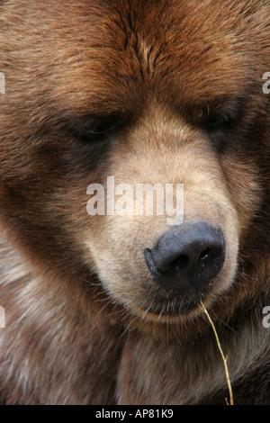 alaskan brown bear ursus arctos p keywords alaskan brown bear ursus arctos bears brown portrait face close up photo - Stock Photo