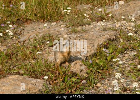 Ground Squirrel spermophilus columbianus and purple aster townsendia parryi - Stock Photo