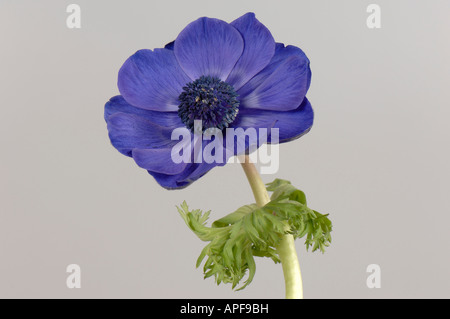 Blue cut flower of Anemone coronaria showing corolla and normal calyx - Stock Photo